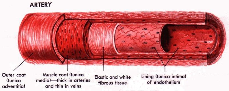 Artery Structure: Lining of endothelium